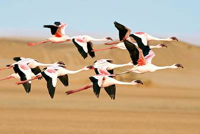 Lesser Flamingoes In Flight Poster by Tony Camacho