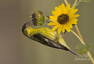 Lesser Goldfinch On Sunflower Poster