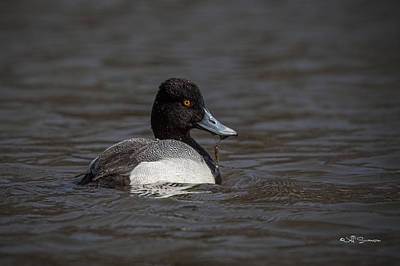 Lesser Scaup Poster by Jeff Swanson