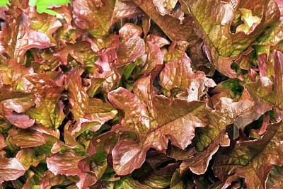 Lettuce 'salad Mix' Poster