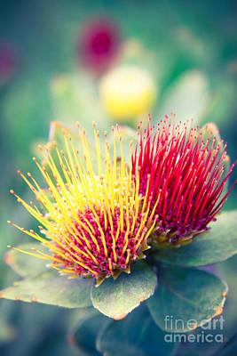 Leucospermum Oleifolium Tufted Pincushion Protea  Poster by Sharon Mau