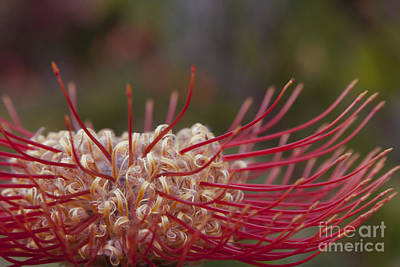 Leucospermum - Pincushion Protea - Tropical Sunburst Protea Flower Hawaii Poster by Sharon Mau