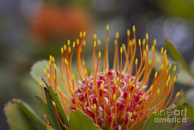 Leucospermum Pincushion Protea - Tropical Sunburst Poster by Sharon Mau