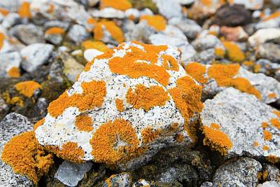 Lichen Covered Pebbles On A Raised Beach Poster by Ashley Cooper