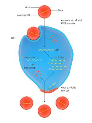 Life Cycle Of A Virus Poster by Science Photo Library