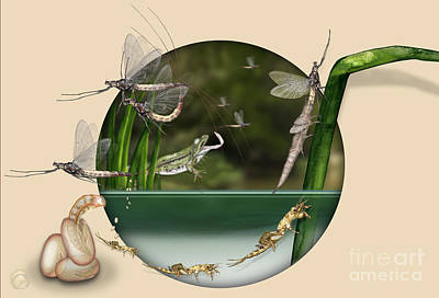 Life Cycle Of Mayfly Ephemera Danica - Mouche De Mai - Zyklus Eintagsfliege - Stock Illustration - Stock Image Poster