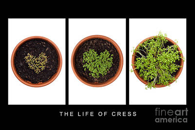 Life Of Cress Poster by Anne Gilbert
