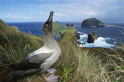 Light-mantled Albatross Sky-pointing Poster by Tui De Roy