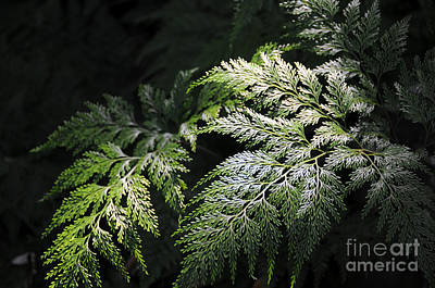 Light On The Fern Poster