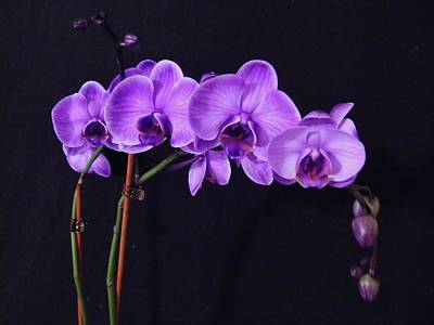 Lilac Amethyst Orchid Poster by Cindy Micklos