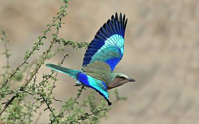 Lilac-breasted Roller In Flight Poster by Tony Camacho
