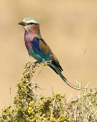 Lilac Breasted Roller Poster by Phyllis Peterson