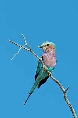 Lilac-breasted Roller Poster by Tony Camacho