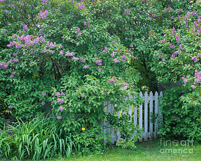 Poster featuring the photograph Lilac Season by Alan L Graham