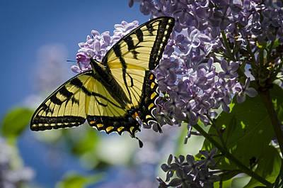 Lilac Tiger Poster