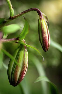 Lily (lilium Sp.) Flower Buds Poster by Maria Mosolova