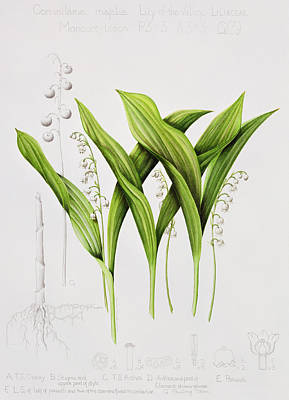 Lily Of The Valley Poster by Sally Crosthwaite