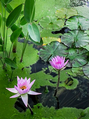 Lily Pads And Flowers Poster