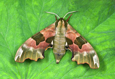 Lime Hawk-moth Poster by Nigel Downer