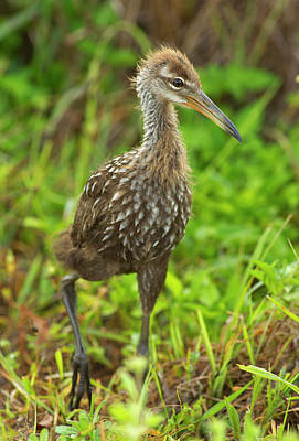 Limpkin Chick Cruising, Aramus Guarana Poster by Maresa Pryor