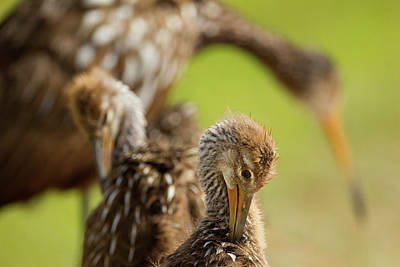 Limpkin Family, Aramus Guarana, Viera Poster by Maresa Pryor