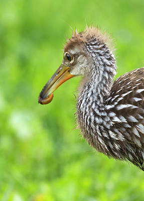 Limpkin With First Apple Snail, Aramus Poster by Maresa Pryor