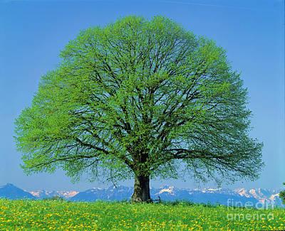 Linden Tree In Spring Poster by Hermann Eisenbeiss