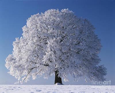 Linden Tree In Winter Poster by Hermann Eisenbeiss