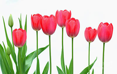 Line Of Tulips Poster by Steve Augustin