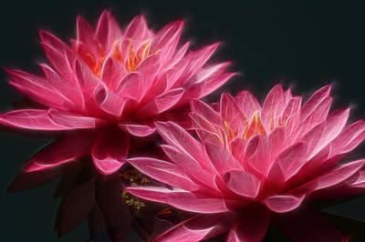 Lined Pink Water Lilies Poster by Linda Phelps