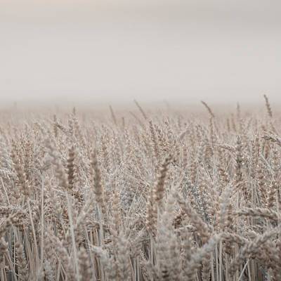 Misty Morning Over Cornfield Poster by Aldona Pivoriene