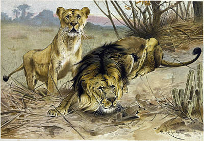 Lion And Lioness Poster by English School