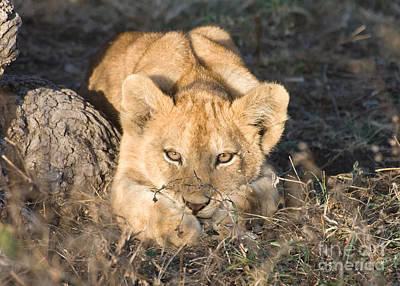 Poster featuring the photograph Lion Cub Waiting For Mother by Chris Scroggins