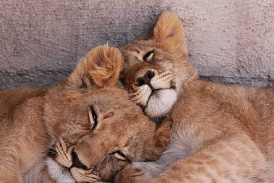 Lion Cubs Dozing Poster by Mike Bacon