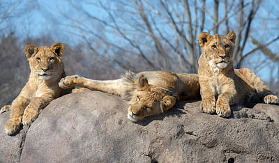 Lion Cubs Poster by Mark Papke