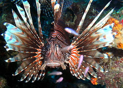 Lion Fish - En Garde Poster by Amy McDaniel