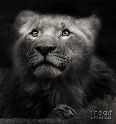 Lion In The Dark Poster by Christine Sponchia