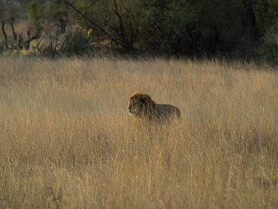 Lion Panthera Leo In Tall Grass That Poster