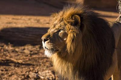 Lion Profile Poster