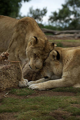Lion Smooch Poster by Graham Palmer