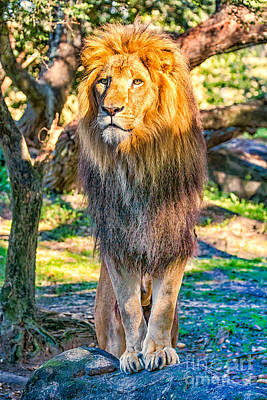Lion Standing On Rocks Poster