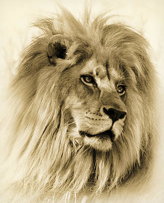 Lion Poster by Swank Photography