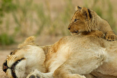 Lioness And Cub Poster by Lyle Gregg