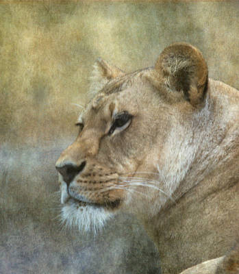 Lioness Poster by Angie Vogel