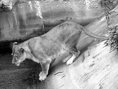 Poster featuring the photograph Lioness Black And White by Joseph Baril