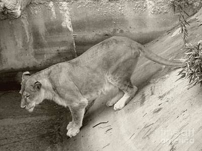 Poster featuring the photograph Lioness Sepia by Joseph Baril