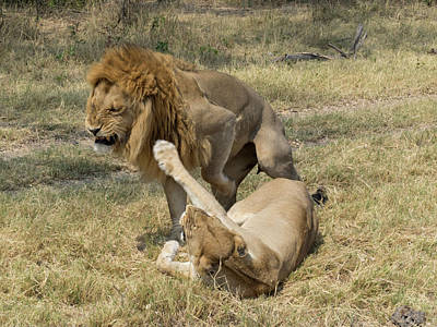 Lioness Taking Swipe At Male Lion Poster