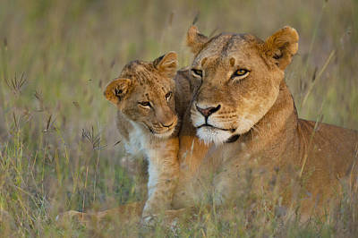 Lioness With Cub At Dusk In Ol Pejeta Poster by Ian Cumming