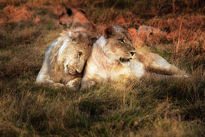 Lioness With Juvenile Male Nuzzling Poster by Sheila Haddad