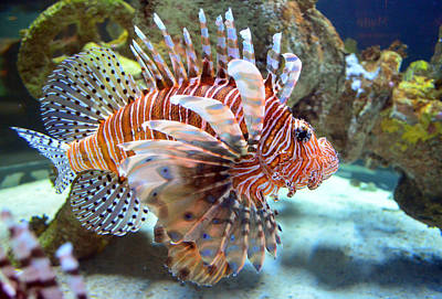 Lionfish Poster by Sandi OReilly